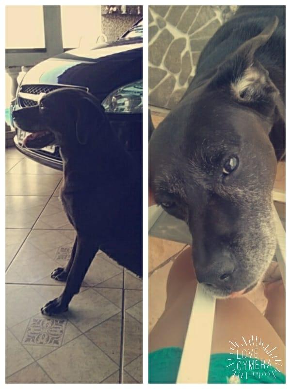 Cachorra se assusta com rojões e foge; proprietários procuram por informação - Crédito: Divulgação