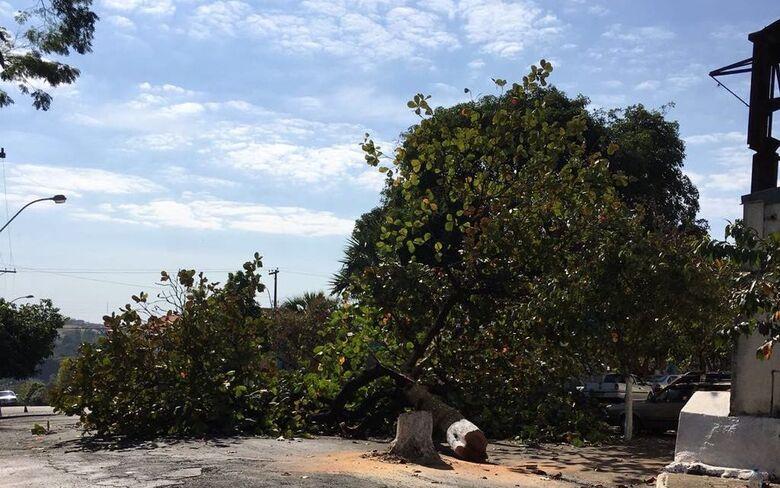 Prefeito de Ribeirão Bonito corta árvore centenária - Crédito: Dagmar Blota (moradora de Ribeirão Bonito)