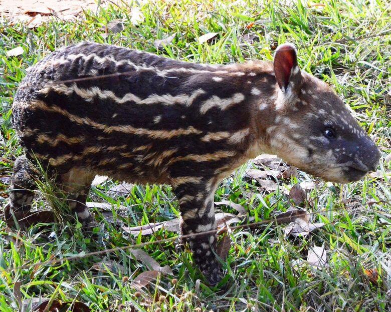 Filhote de Anta nasce no Parque Ecológico de São Carlos -