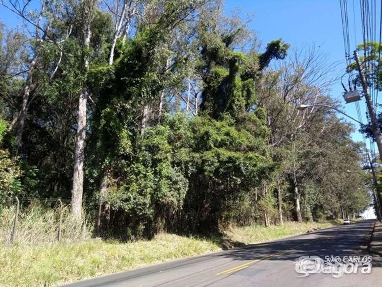 Eucaliptos na rodovia Guilherme Scatena serão cortados - Crédito: Divulgação