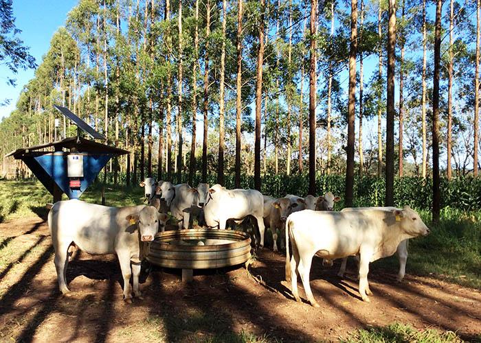 Estudo feito em São Carlos revela que gado em sistema integrado com floresta procura menos água - Crédito: Gisele Rosso