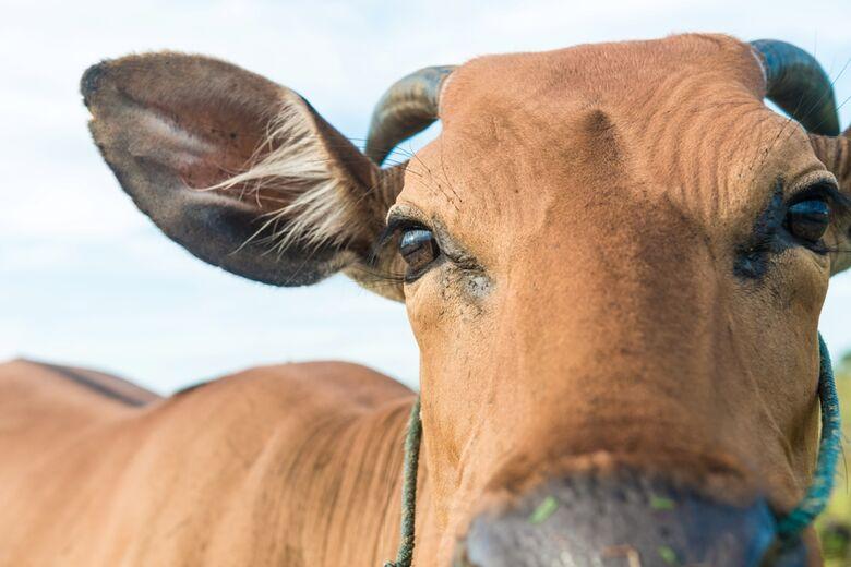 Ação judicial suspende leilão de bovinos -