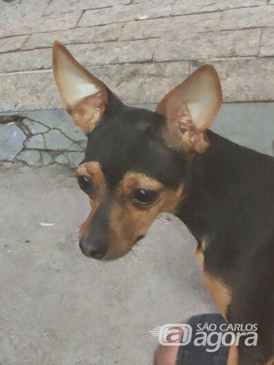 Cachorrinha foge e família pede ajuda para localizá-la - Crédito: Divulgação