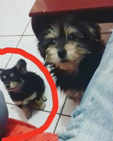 Cachorra Laila está desaparecida em Ibaté -