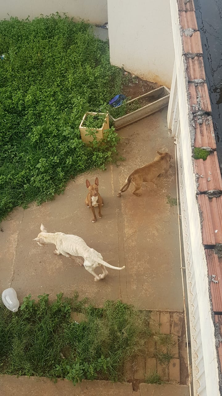 Cães estão abandonados em uma casa no Douradinho, garantem protetoras de animais - Crédito: Divulgação