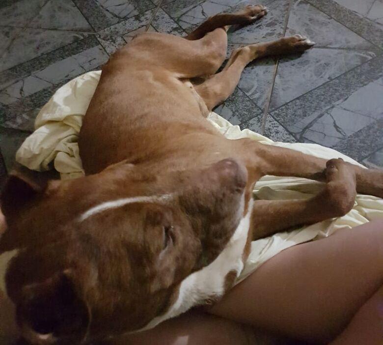 Campanha é feita para ajudar pitbulls resgatados no Douradinho; duas cachorras estão grávidas - Crédito: Marcos Escrivani