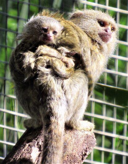 Sagui-Pigmeu, menor espécie de macaco do mundo, nasce no Parque Ecológico - Crédito: Divulgação