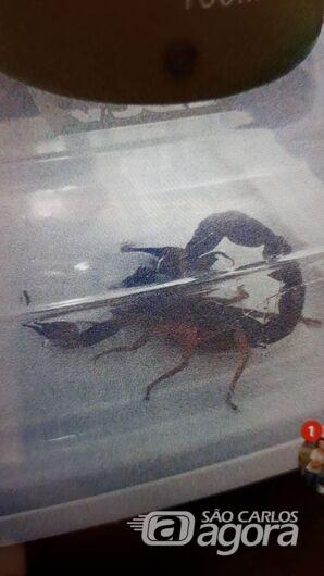 Escorpiões invadem casa e apavoram dona de casa na Vila Santa Madre Cabrine - Crédito: Divulgação