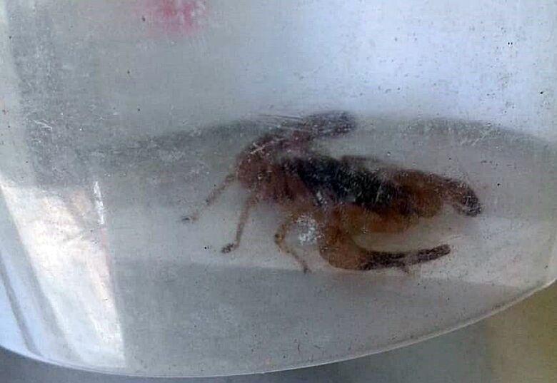 Escorpião aparece em quarto e assusta moradora no Aracy 2 - Crédito: Leitora SCA