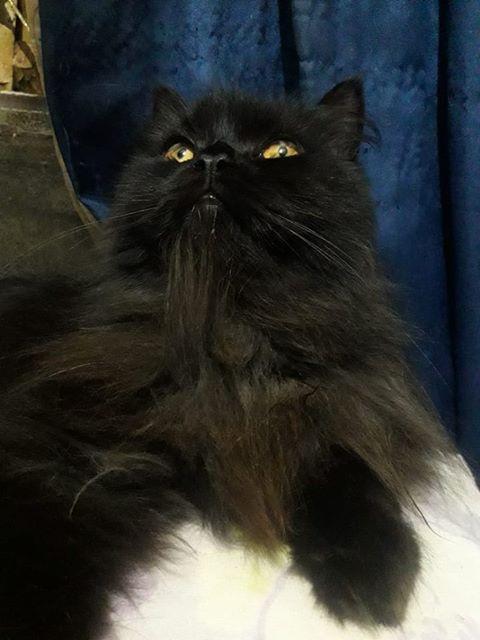 Gato está desaparecido no Novo Horizonte -