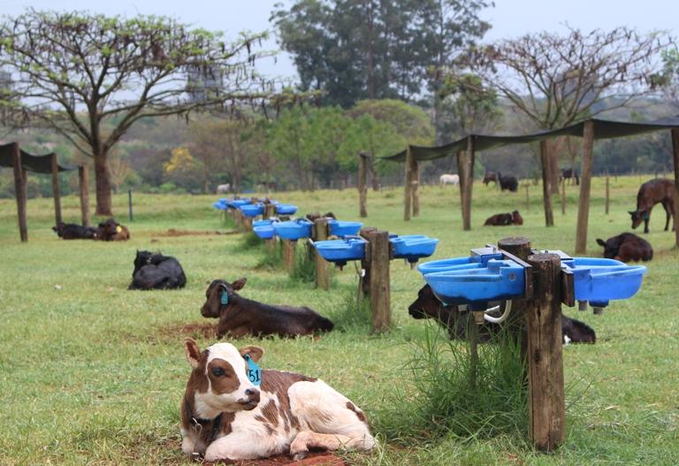 Para pesquisadora da Embrapa São Carlos, Incidência de diarreia em bezerros aumenta em períodos de chuva e calor - Crédito: Gisele Rosso