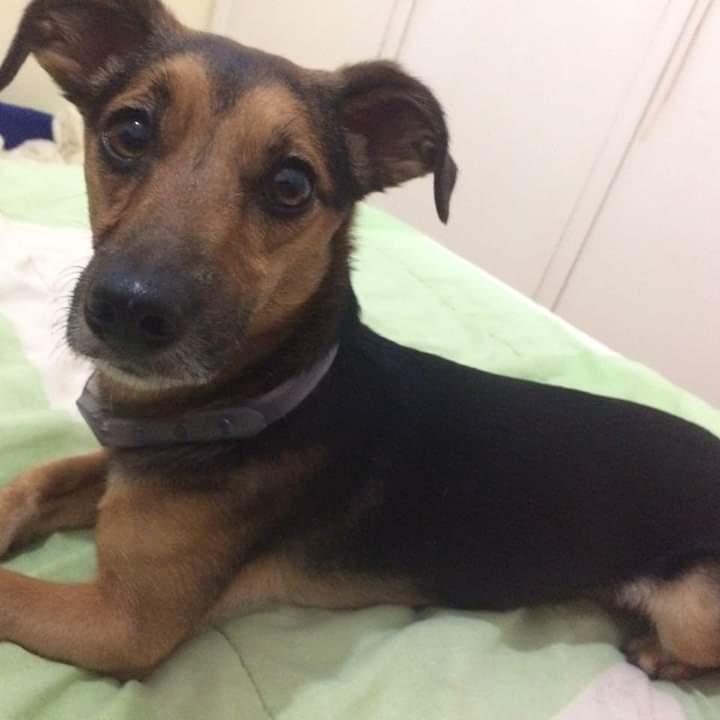 Cachorrinho que escapou em capotamento morre atropelado por ônibus - Crédito: Divulgação