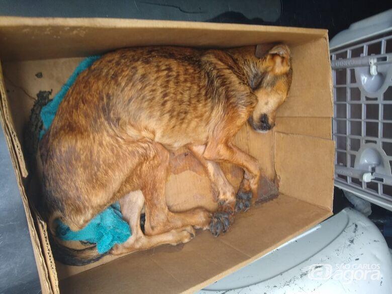 Morre cachorrinho que foi encontrado agonizando em caixa de papelão - Crédito: Divulgação
