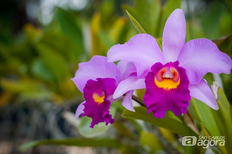 Feira de Orquídeas começa amanhã em São Carlos - Crédito: Divulgação