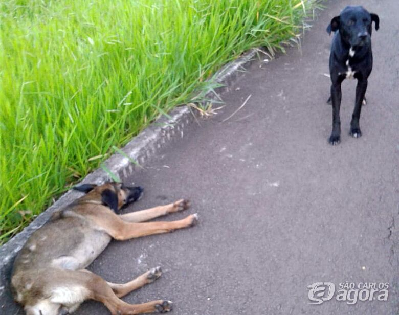 Cão é atropelado e sem abandonar, companheiro fica ao lado - Crédito: Divulgação