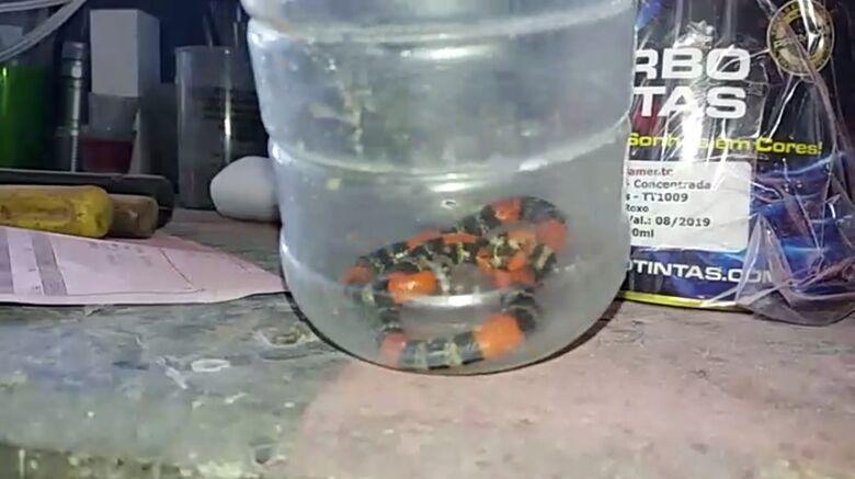 Cobra coral é capturada por mecânico no Jardim Munique; moradores estão assustados - Crédito: Divulgação
