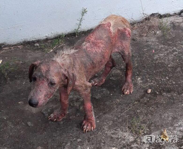 Cãozinho abandonado precisa de ajuda no Antenor Garcia - Crédito: Divulgação