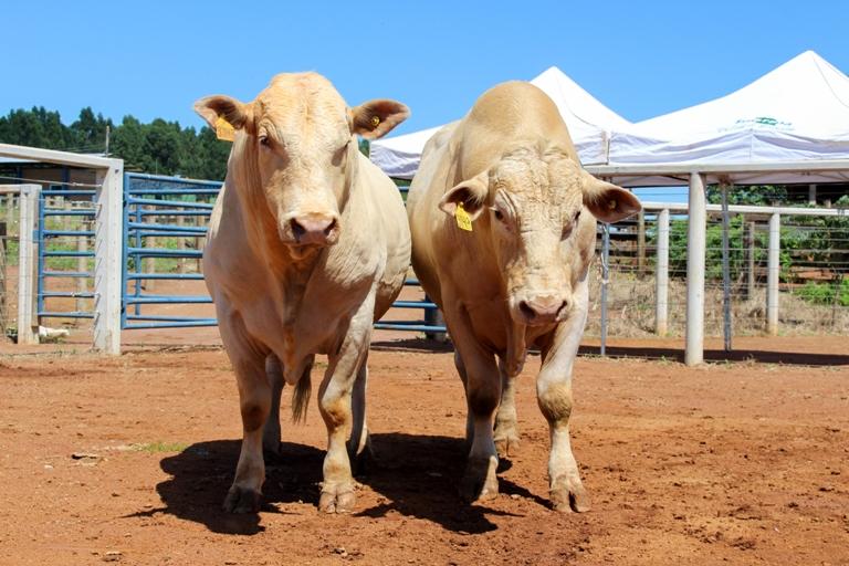 Embrapa São Carlos promove leilão de touros Canchim - Crédito: Juliana Sussai