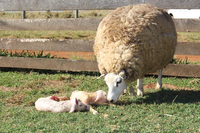 Veterinário da Embrapa São Carlos diz que manejo adequado reduz perda de cordeiros em partos duplos - Crédito: Gisele Rosso