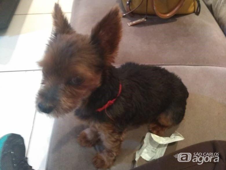 Cachorrinho Fred desaparece e proprietários buscam informações para localizá-lo - Crédito: Divulgação