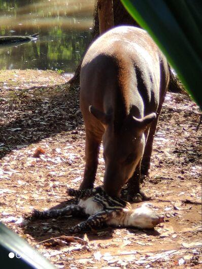 Filhote de anta nasce no Parque Ecológico -
