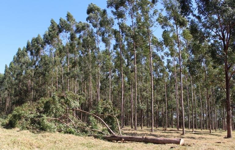 Pesquisador da Embrapa São Carlos diz que manejo de árvores mantém equilíbrio em sistemas integrados de produção - Crédito: Gisele Rosso