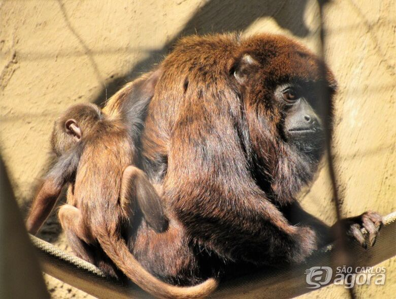 Filhote de bugio vermelho nasce no Parque Ecológico -