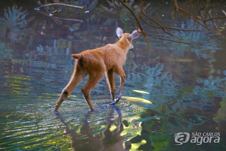 AZAB confere ao Parque Ecológico de São Carlos o título de padrinho do cervo do pantanal -