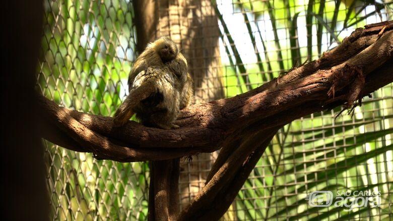 Trabalho do Parque Ecológico contribui para a preservação do Sagui-Pigmeu -