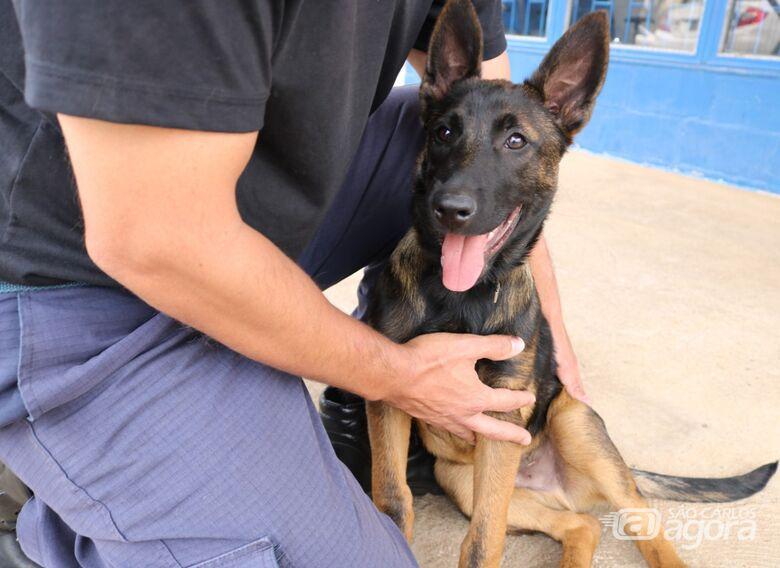 Canil da Guarda Municipal recebe filhote de pastor belga malinois para treinamento - Crédito: Divulgação
