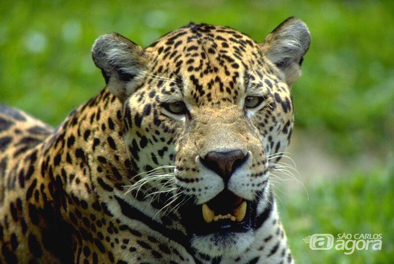 Parque Ecológico está em luto com a morte da onça Boomer - Crédito: Divulgação