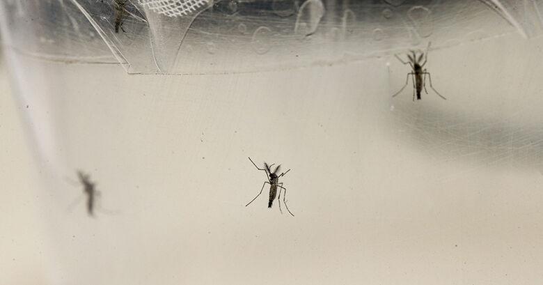 Aedes aegypti, transmissor do vírus zika. Um dos problemas dos testes anteriores era a possibilidade de falso positivo caso o indivíduo já tivesse apresentado caso de dengue ou outras doenças cujo patógeno pertence à mesma família dos flavivírusus – - Crédito: Foto: Marcos Santos / USP Imagens