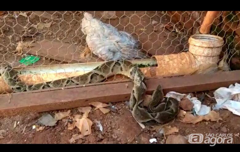 Jararaca fica presa em tela de galinheiro no Recreio dos Bandeirantes - Crédito: Reprodução