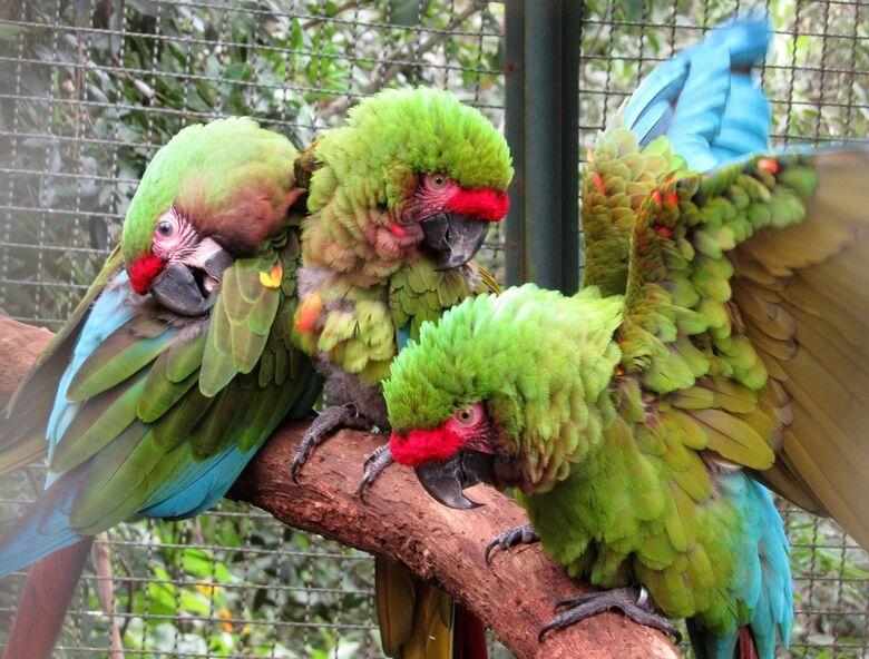 Parque Ecológico reproduz rara espécie de Arara - Crédito: Divulgação