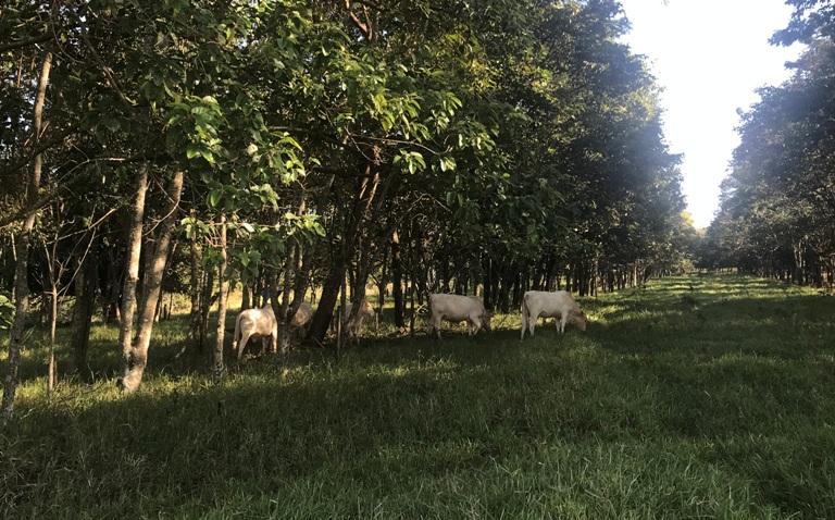 Sistema silvipastoril da Embrapa Pecuária Sudeste com uso de árvores nativas - Crédito: Ana Maio