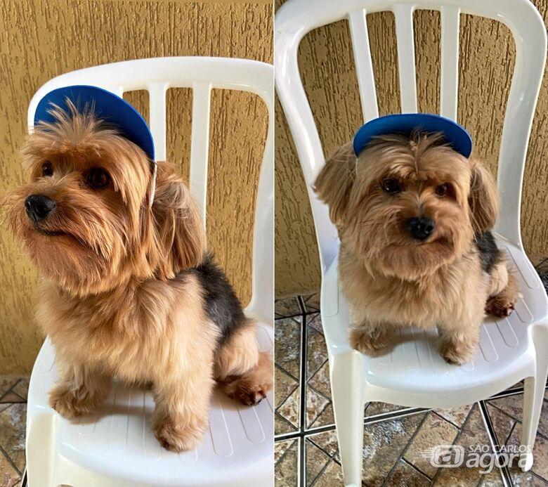 Procura-se cachorro Teddy, desaparecido no Jardim Munique -