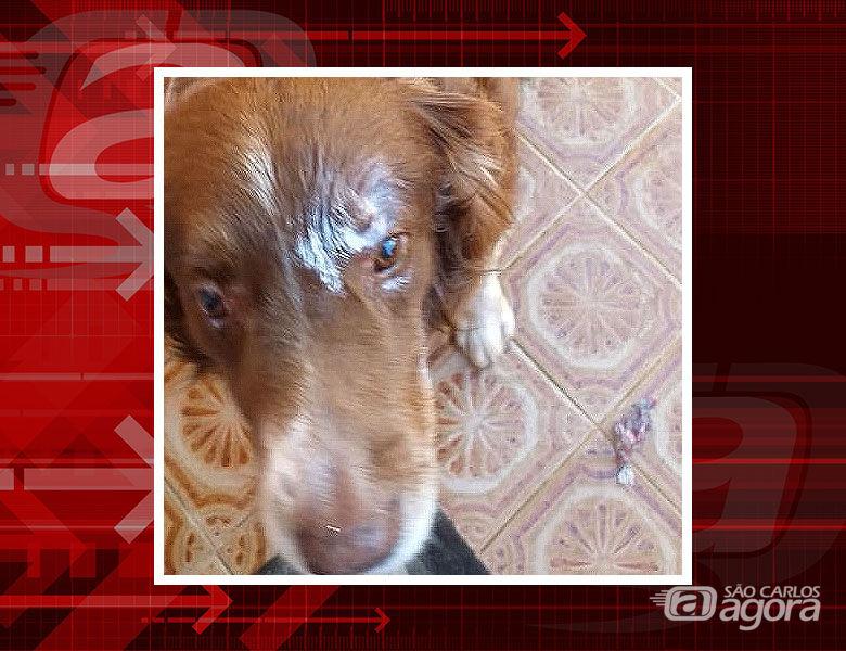 Pitbull ataca cachorro Bordier Collie dentro de residência no Santa Paula - Crédito: Divulgação