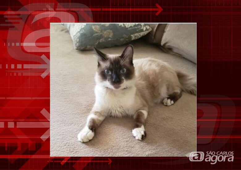 Procura-se gatinho Brow que desapareceu na região do Paulistano -
