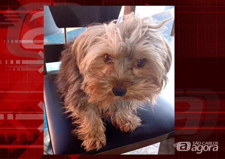 Cachorrinho Bob desapareceu na região do Pacaembú. Ajude a encontrá-lo -