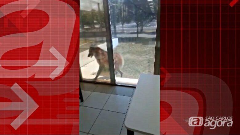 Lobo-guará surpreende funcionários da Latam - Crédito: Reprodução